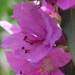Blütenessenz BLUTWEIDERICH (Lythrum salicaria)