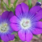 Blütenessenz FRAUENSPIEGEL (Legousia speculum veneris)