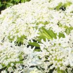 Blütenessenz HERKULESSTAUDE (Heracleum mantegazzianum)