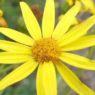 Blütenessenz JAKOBS' GREISKRAUT (Senecio jacobaea)
