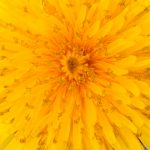 Blütenessenz LÖWENZAHN (Taraxacum officinale)