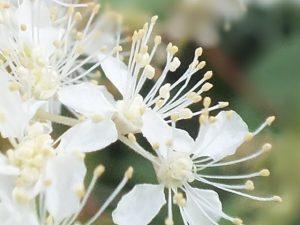 Blütenessenz MÄDESÜSS (Filipendula ulmaria)