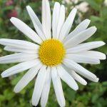 Blütenessenz MARGERITE (Chrysanthemum maximum)