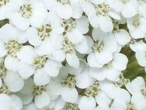 Blütenessenz SCHAFGARBE, WEISS (Achillea millefolium)