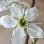 Blütenessenz SCHLEHE (Prunus spinosa)
