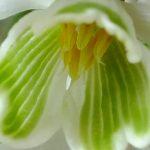 Blütenessenz SCHNEEGLÖCKCHEN (Galanthus nivalis)