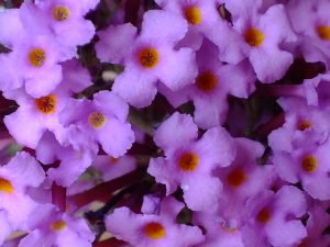 Blütenessenz SOMMERFLIEDER (Buddleja davidii)