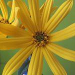 Blütenessenz TOPINAMBUR (Helianthus tuberosus)