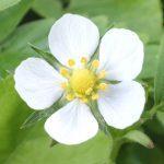 Blütenessenz WALDERDBEERE (Fragarie vesca)