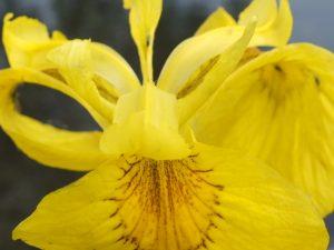 Blütenessenz WASSER-SCHWERTLILIE (Iris pseudacorus)