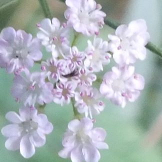 Blütenessenz WIESENKERBEL (Anthriscus sylvestris)