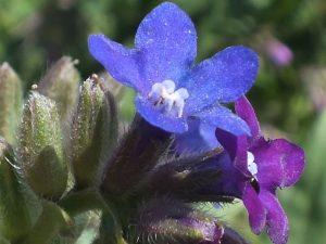 Blütenessenz WOLFSAUGE (Anchusa arvensis)
