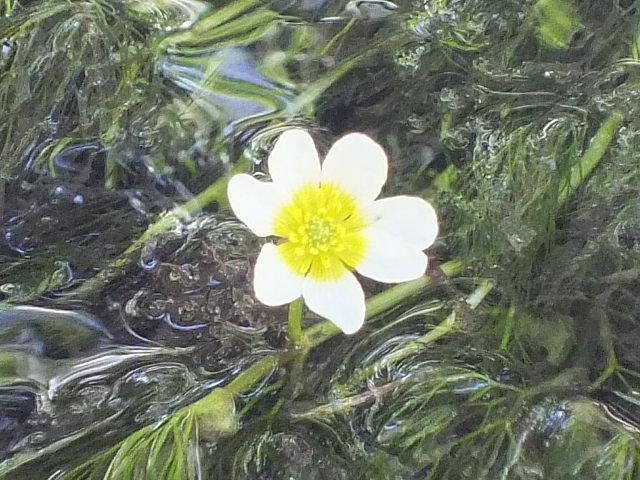 Blütenessenz HAHNENFUSS, FLUTENDER (Ranunculus fluitans)