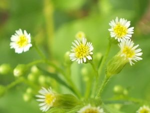 Blütenessenz BERUFSKRAUT, KANADISCHES (Conyza canadensis)
