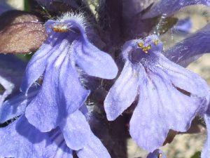 Blütenessenz GÜNSEL, KRIECHENDER (Ajuga reptans)