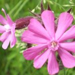 Blütenessenz LICHTNELKE, ROTE (Silene dioica)