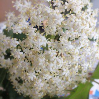 Blütenessenz HOLUNDER (Sambucus nigra)