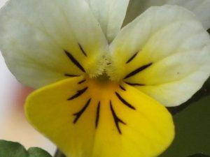 Blütenessenz STIEFMÜTTERCHEN, WILDES (Viola tricolor)