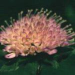 Blütenessenz ACKERWITWENBLUME (Knautea arvensis)