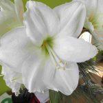 Blütenessenz WEISSE AMARYLLIS (Amaryllis Belladonna)