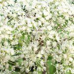 Blütenessenz ANGELIKA (Angelica archangelica)