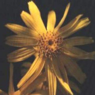 Blütenessenz ARNIKA (Arnica montana)