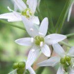 Blütenessenz BÄRLAUCH (Allium ursinium)