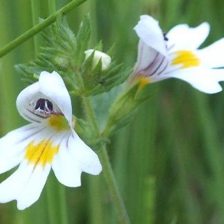 Blütenessenz BERGAUGENTROST (Euphrasia montana)