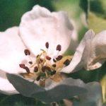 Blütenessenz BIRNE (Pyrus communis)