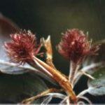 Blütenessenz BUCHE (Fagus sylvatica)