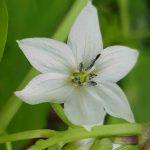 Blütenessenz CAYENNE (Capsicum annuum)