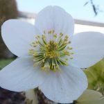 Blütenessenz CHRISTROSE (Helleborus niger)