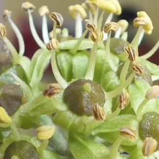 Blütenessenz EFEU (Hedera Helix)