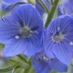 Blütenessenz EHRENPREIS (Veronica officinalis)