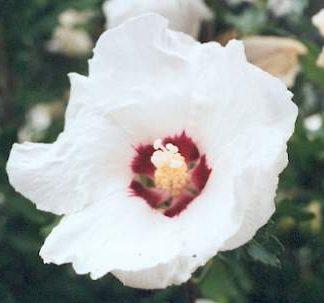 Blütenessenz EIBISCH (Althaea officinalis)