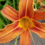 Blütenessenz FEUERLILIE (Lilium bulbiferum)