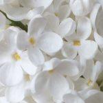 Blütenessenz WEISSER FLIEDER (Syringa vulgaris)