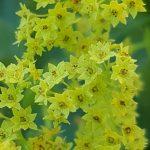 Blütenessenz FRAUENMANTEL (Alchemilla vulgaris)