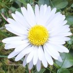 Blütenessenz GÄNSEBLÜMCHEN (Bellis perennis)
