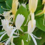 Blütenessenz GEISSBLATT (Lonicera caprifolium)