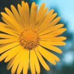 Blütenessenz KRIECHENDER GEMSWURZ (Doronicum pardalianches)