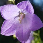 Blütenessenz RUNDBLÄTTRIGE GLOCKENBLUME (Campunala rotundifolie)