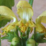 Blütenessenz GOLDNESSEL (Lamirum galeabadon)