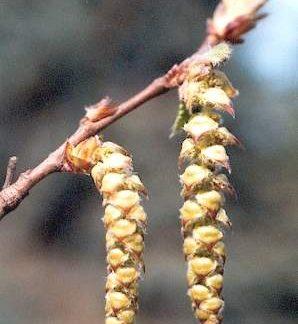 Blütenessenz HAINBUCHE (Carpinus betulus)