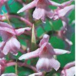 Blütenessenz HANDWURZ (Gymnadenia conopsea)