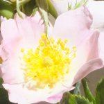 Blütenessenz HECKENROSE (Rosa canina)