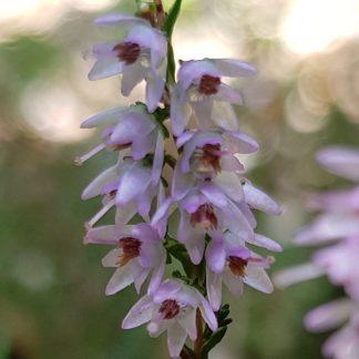 Blütenessenz HEIDEKRAUT (Calluna vulgaris)