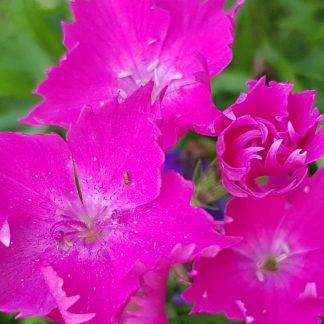 Blütenessenz HEIDENELKE (Dianthus deltoides)