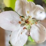 Blütenessenz HOLZAPFEL (Malus pumila)
