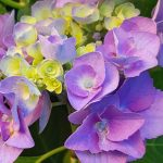 Blütenessenz HORTENSIE (Hydrangea macrophylla)
